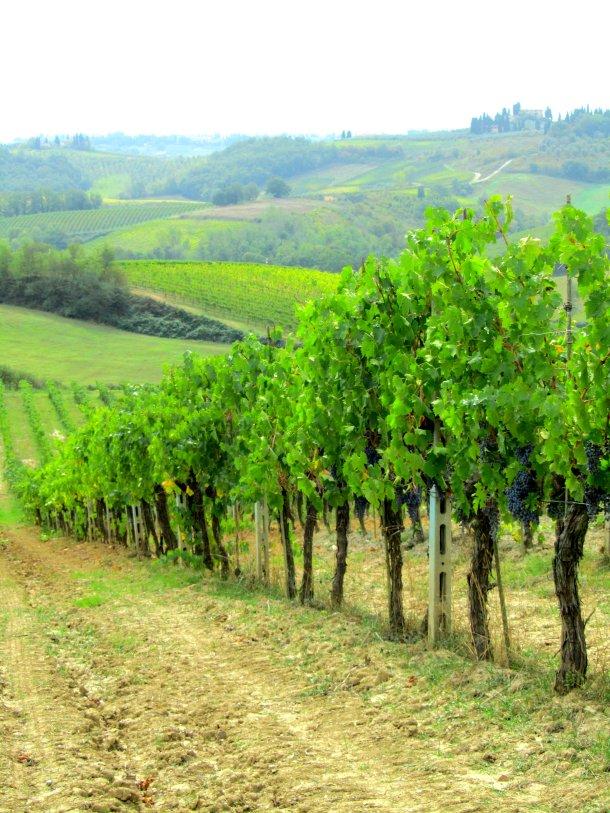 The vineyard at Il Vecchio Maneggio